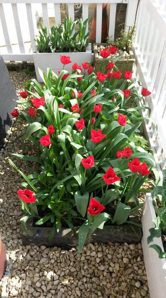 Front Garden Tulips