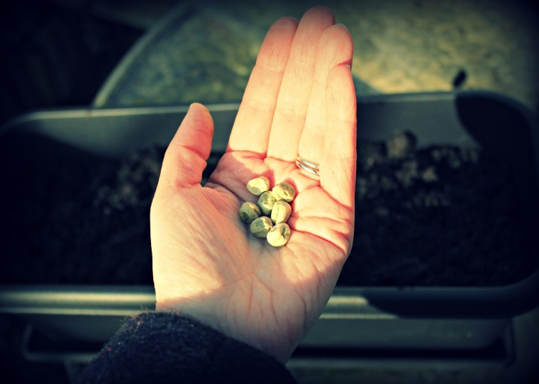 pea shoot seeds