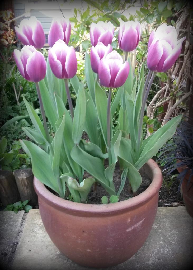 GardenTulips21.04.15