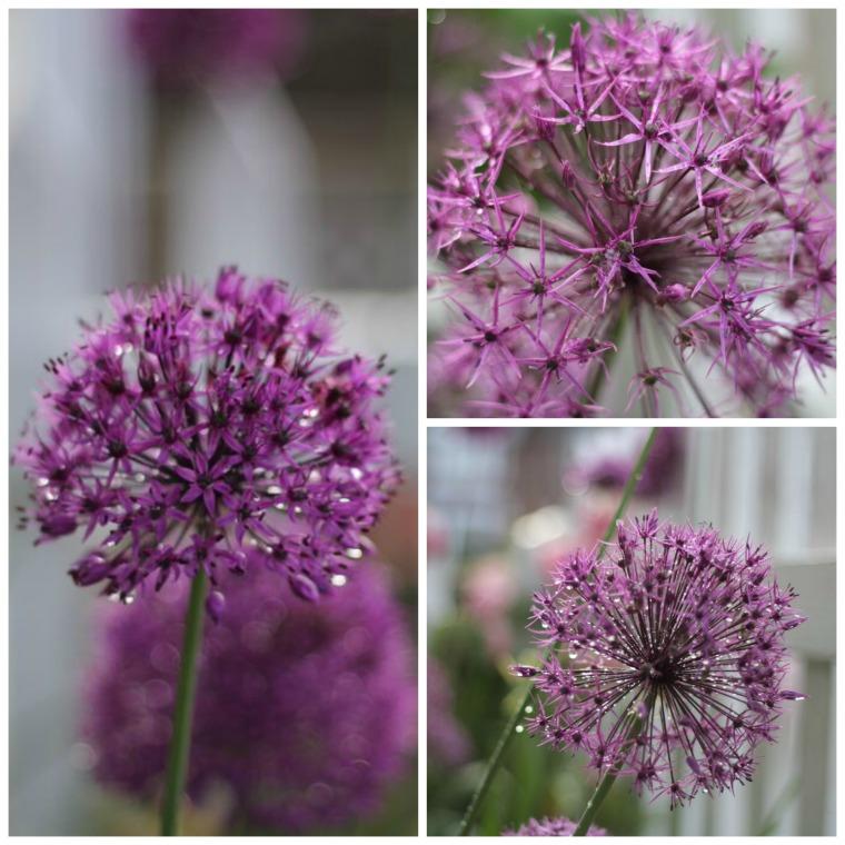 Allium Collage