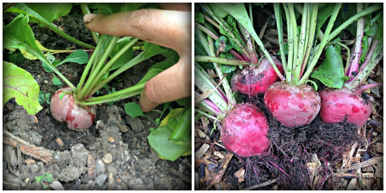 beet2 Collage