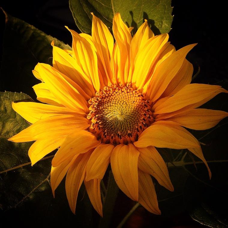 SunflowerJuly2015-1