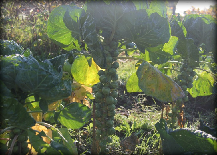 Allotment Sprouts 1