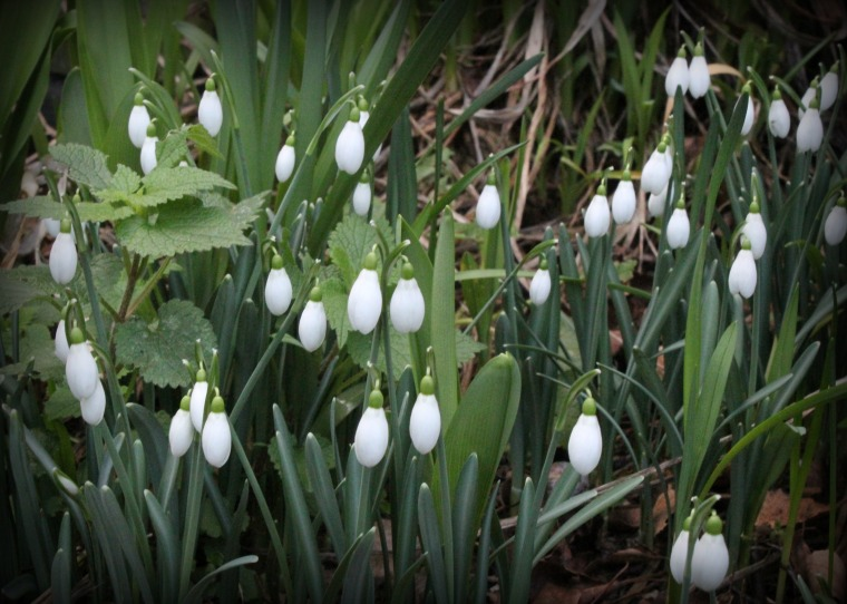 suffolk snowdrops jan16