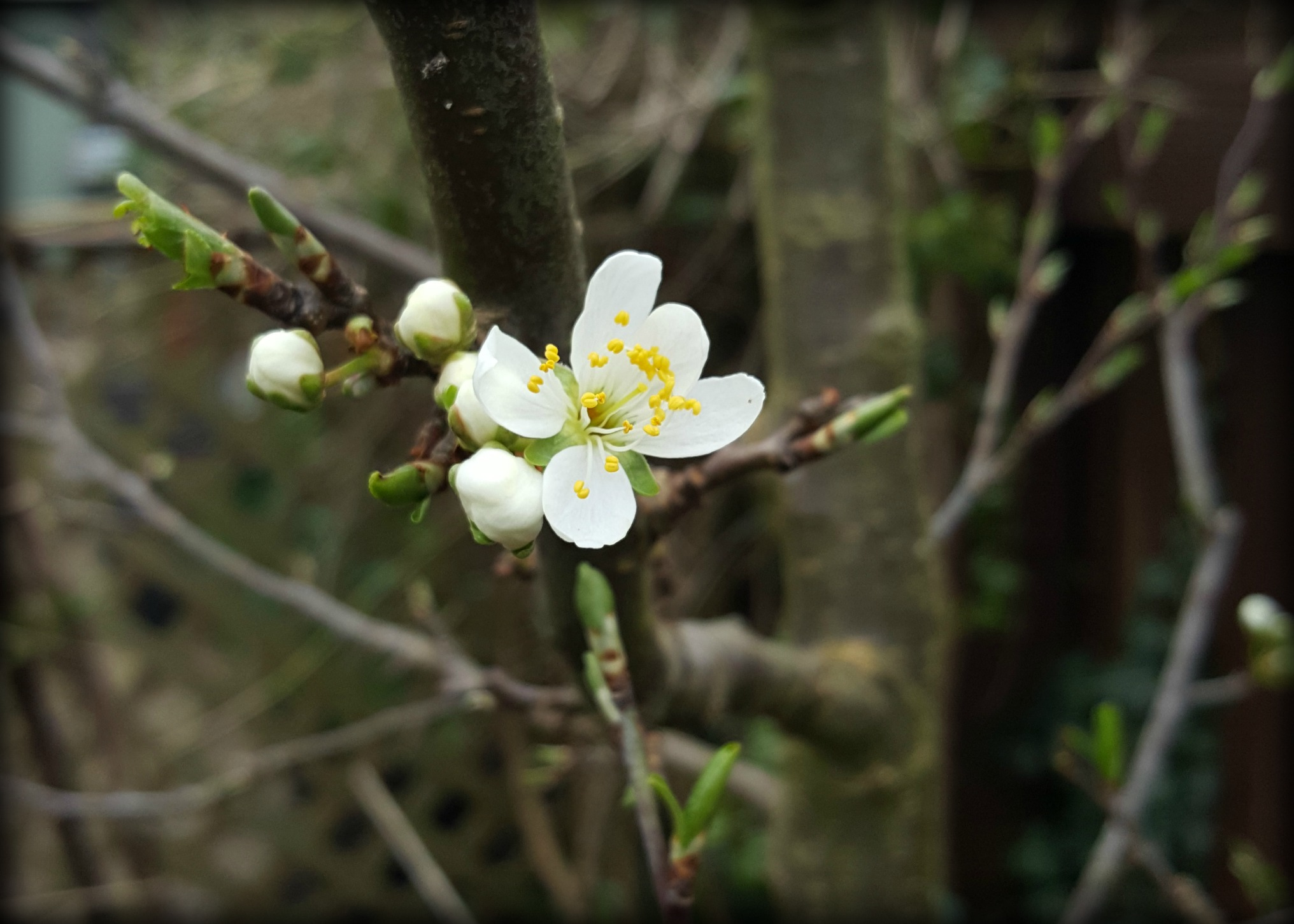 Plum Blossom – AGENTS OF FIELD
