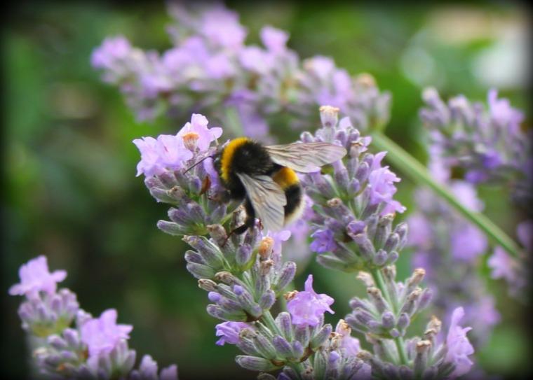 Bee & Lavender