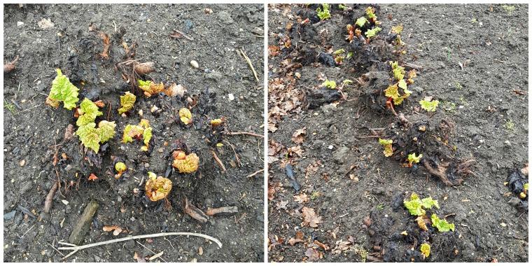 rhubarb-collage