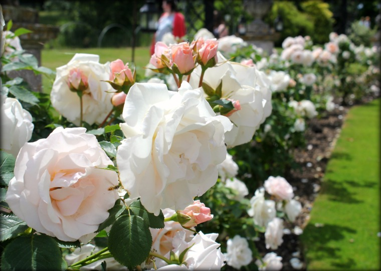 Roses at Woburn Abbey