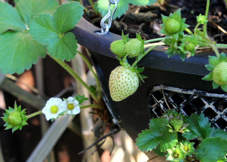 Autumn Strawberries