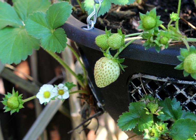 Autumn Strawberries